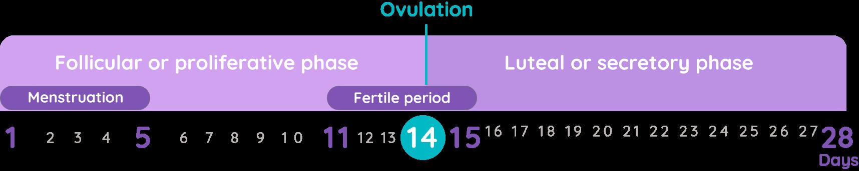 Pregnancy ovulation period
